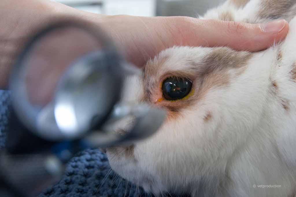 Augenuntersuchung Kaninchen