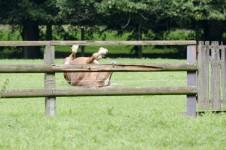 Pferd wälzt sich