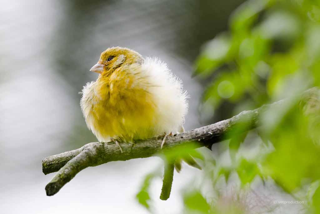 federbalg zysten beim vogel definition ursachen symptome tiermedizinportal. Black Bedroom Furniture Sets. Home Design Ideas