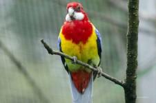 Papagei - Papageienkrankheit (Psittakose)