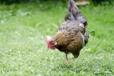 Huhn auf Wiese