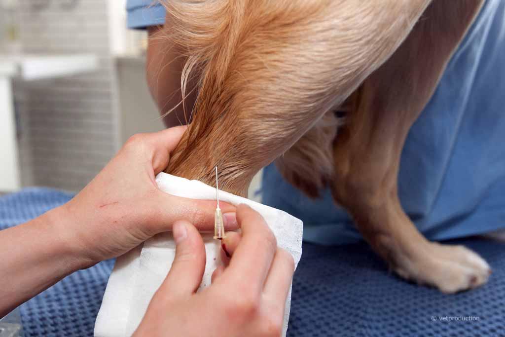 Hund bei der Blutentnahme