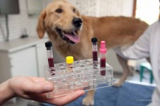 Hund Blutprobe
