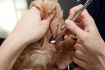 Hund bei der Ohrreinigung