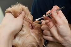 Hund bei der Ohrenreinigung