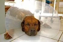 Hund mit Halskragen