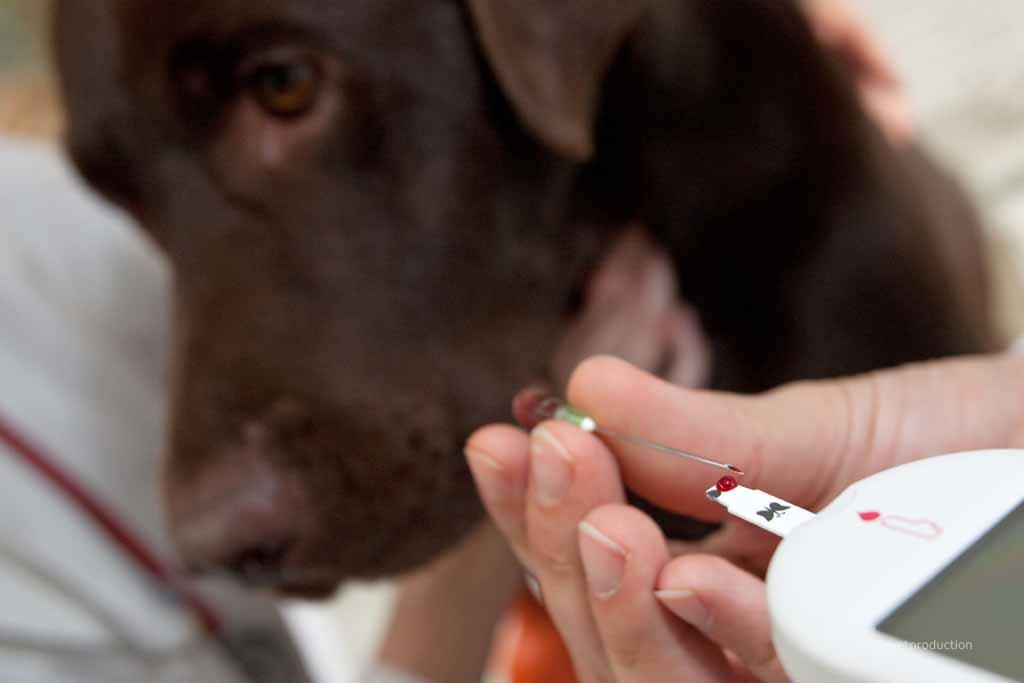Hund bei der Blutzucker Messung