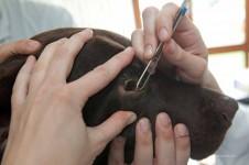 Hund bei der Augenuntersuchung