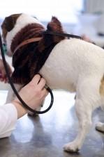 Tierärztliche Unteruschung eines Hundes mit einem Stethoskop