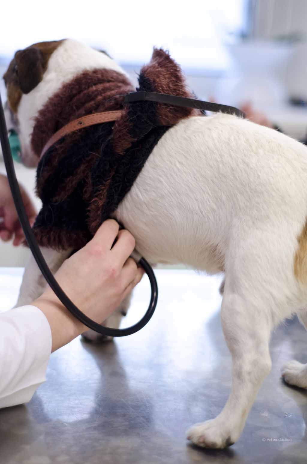 Herzklappen Erkrankungen Beim Hund Definition Ursachen Symptome