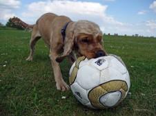 Hund mit Ball auf der Wiese