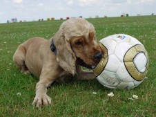 Hund mit Fussball