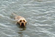 Hund beim Schwimmen