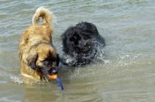 Zwei Hunde spielen im Wasser