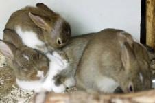 Drei Kaninchen im Außenstall