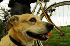 Hund läuft angestrengt am Rad.