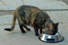 Eine Katze beim Fressen
