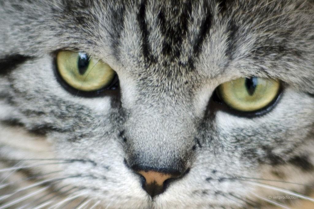 Augen Katze
