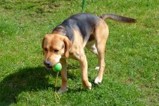 Hunde-Agility - Ein Hund beim Apportieren