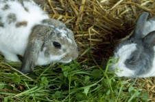 Fressende Kaninchen