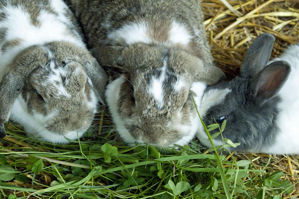 kaninchenfutter so ern hren sie ihr kaninchen gesund tiermedizinportal. Black Bedroom Furniture Sets. Home Design Ideas