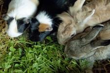 Meerschweinchen-Haltung und Eingewöhnung