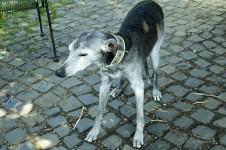 Alter Hund (Whippet) an der Leine