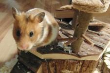 vet01209_hamster