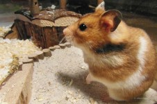 vet01211_hamster
