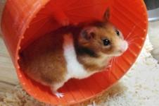 vet01212_hamster