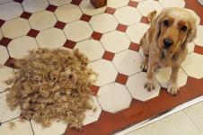 Hund nach dem Scheren