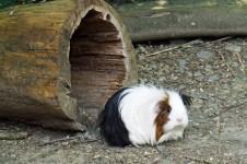 Meerschweinchen im Außengehege