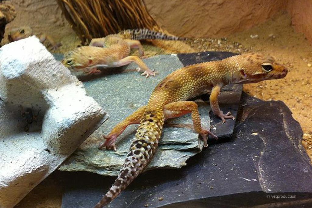 leopardgeckos als heimtiere kleine echsen im terrarium tiermedizinportal. Black Bedroom Furniture Sets. Home Design Ideas