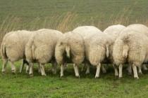Schafe, Tierschutz