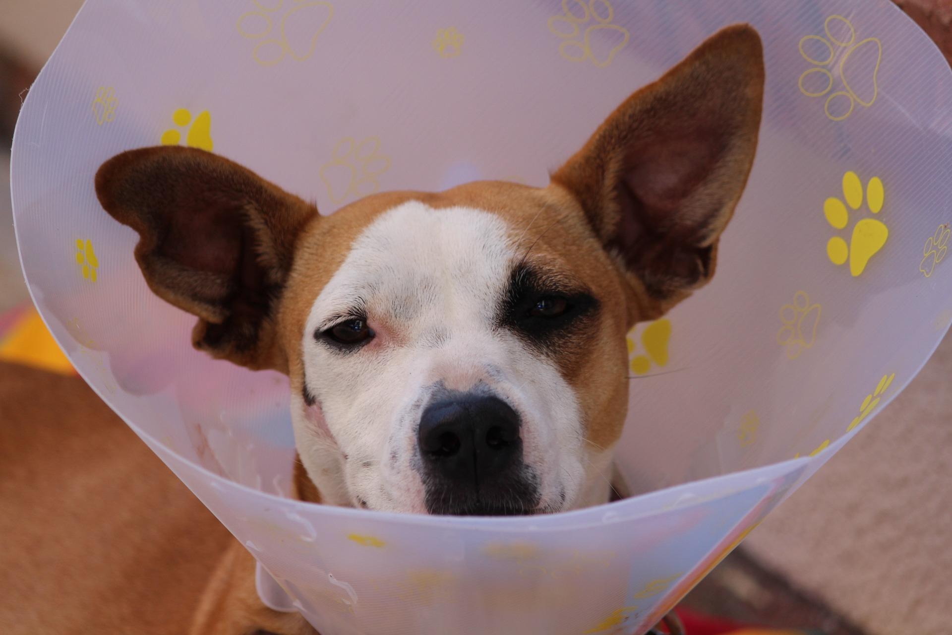 Kleiner Hund mit Halskragen.