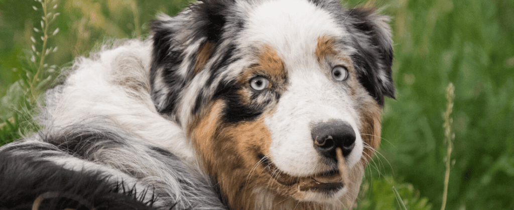 Australian Shepherd Rasseportrait