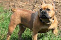 Französische Bulldogge Rasseportrait