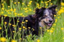 Border Collie auf Blumenwiese