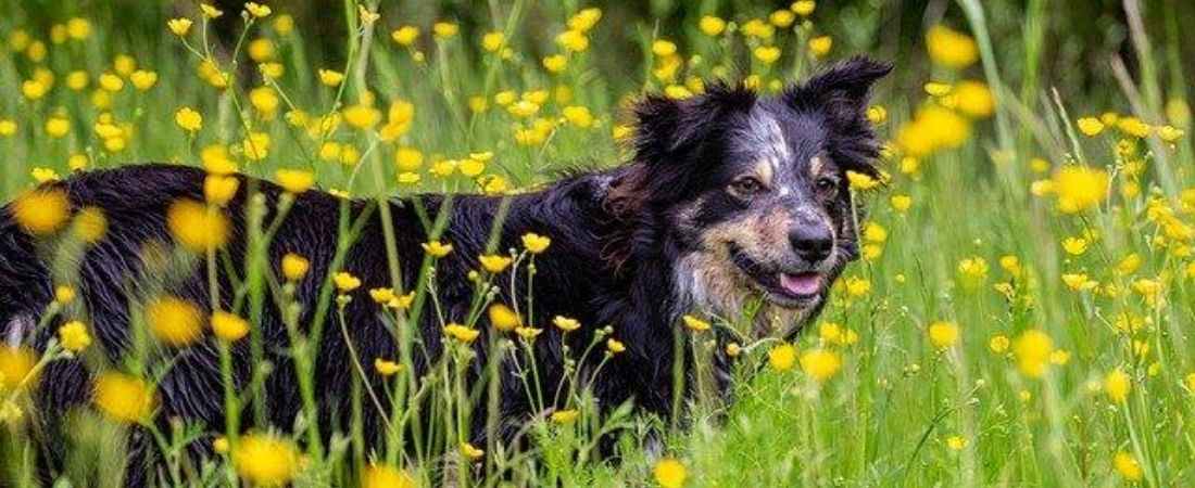 Border Collie auf Blumenwiese