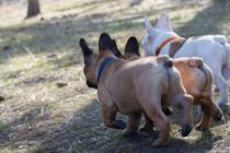 Rückansicht Französische Bulldoggen
