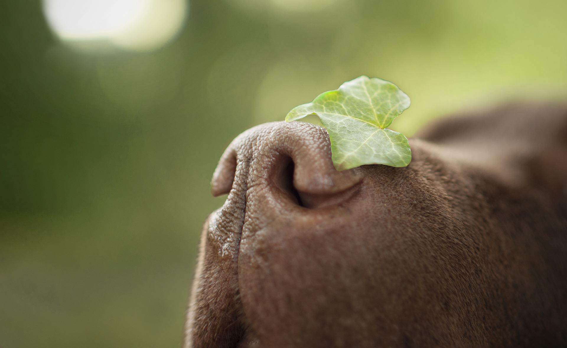 Hundenase (Foto: Pixabay.com)
